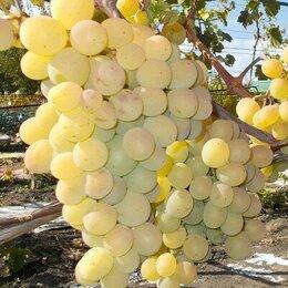 Рассада, саженцы, кустарники, деревья - Саженцы винограда Талисман (он же Кеша), 0