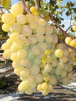 Рассада, саженцы, кустарники, деревья - Саженцы винограда Талисман, 0