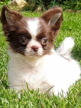 Собаки - Очаровательный длинношерстный мальчик чихуахуа, 0