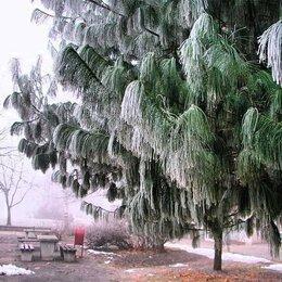 Рассада, саженцы, кустарники, деревья - Сосна Гималайская, 0
