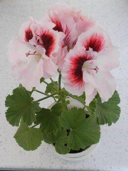 Комнатные растения - Герани,колеусы,замиокулькас,спатифиллум,гибискус., 0