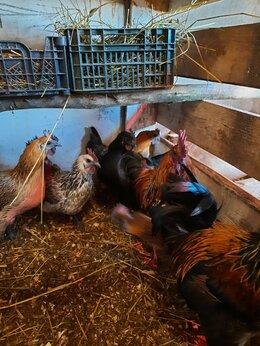 Сельскохозяйственные животные - Несушки, цыплята, индоутки,  инкубационное яйцо, 0