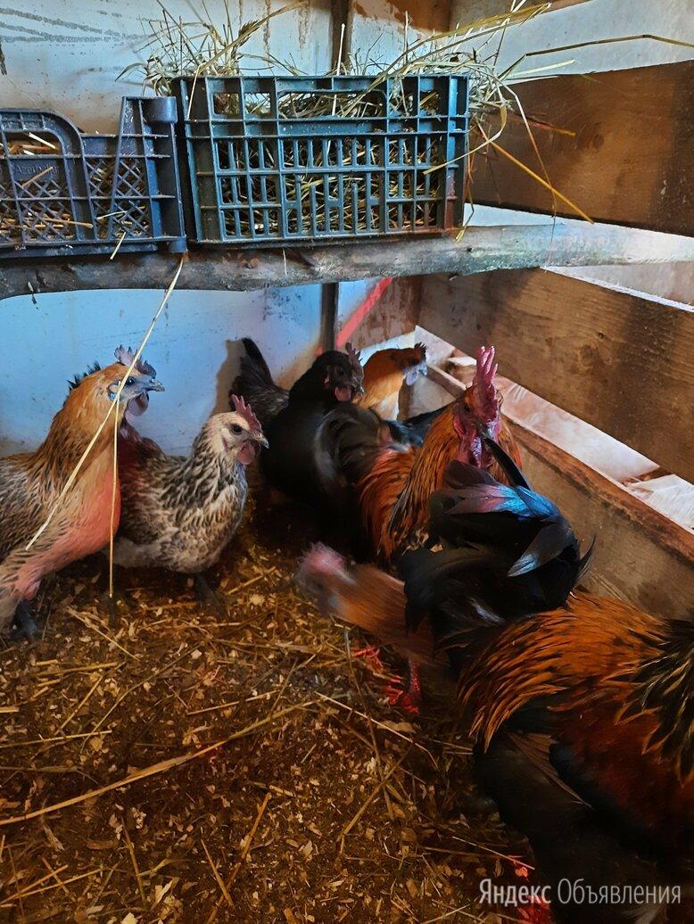 Несушки, цыплята, индоутки,  инкубационное яйцо по цене 70₽ - Сельскохозяйственные животные и птицы, фото 0