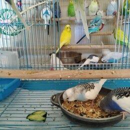 Птицы - Волнистые попугаи, 0