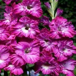 Луковичные растения - Гладиолусы гофрированные Вувузела Раффл, 0