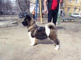 Собаки - Продаю щенков американской акиты , 0