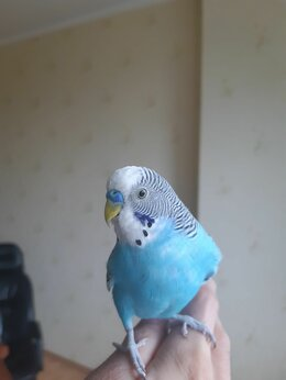 Птицы - Волнистые попугаи с клеткой, 0