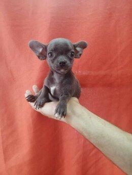 Собаки - Чихуахуа лиловый мальчик, 0
