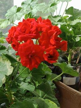Комнатные растения - Красная пеларгония «Rosebud Red», 0