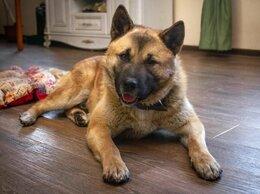 Собаки - Акита Балто в поисках своей семьи!, 0