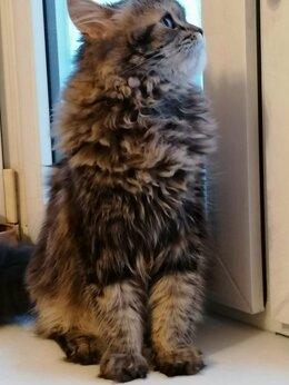 Кошки - Породистые котята даром, 0
