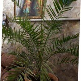Комнатные растения - Очень красивые большие пальмы, 0