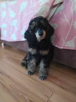 Собаки - Пудель малый фантом, 0