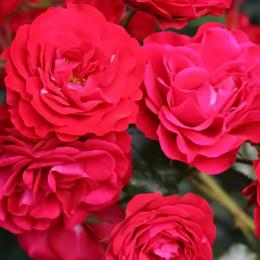 "Комнатные растения - Роза флорибунда ""Europeana"" (Европеана)…, 0"