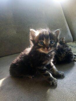 Кошки - Котята Курильский Бобтэл (Абариген Лесной кот) , 0