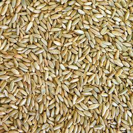 Семена - Продам семена озимая рожь - сорт ДЫМКА, 0