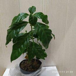 Комнатные растения - Растение кофе арабика, 0