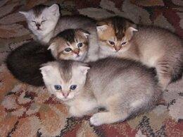 Кошки - Котятки шотландские, 0