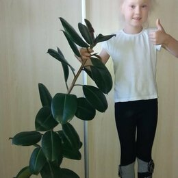Комнатные растения - Фикус каучуковый большой и красивый, 0