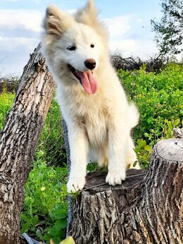 Собаки - Щенки Самоедики, 0