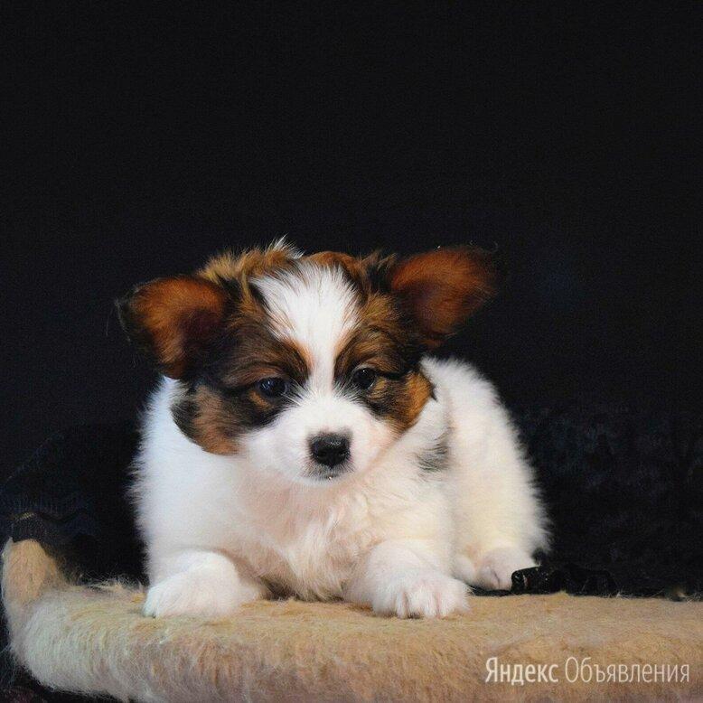 Щенки Папийона по цене 30000₽ - Собаки, фото 0