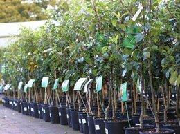 Рассада, саженцы, кустарники, деревья - Саженцы, плодовидные, косточковые, 0