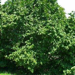 Рассада, саженцы, кустарники, деревья - Орех фундук саженцы, 0
