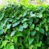 Лимонник китайский по цене 850₽ - Рассада, саженцы, кустарники, деревья, фото 1