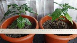 Комнатные растения - Кофейное дерево, сорт Арабика, возраст 6 месяцев, 0