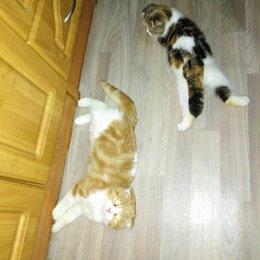 Кошки - Шотландская кошечка. Фолд. 3 месяца. , 0