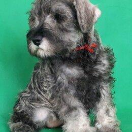 Собаки - Цвергшнауцер щенок, 0