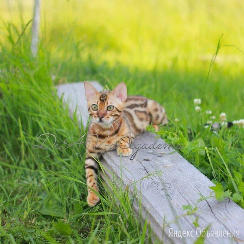 Бенгальская кошка по цене 60000₽ - Кошки, фото 0