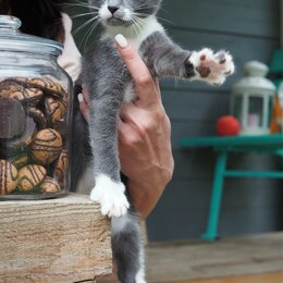 Кошки - Серый красавчик, 0