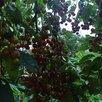 Черемуха-вишня. Гибрид черемухи и вишни по цене 150₽ - Рассада, саженцы, кустарники, деревья, фото 2