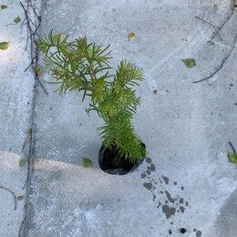 Рассада, саженцы, кустарники, деревья - Метаквойя саженцы однолетние с ЗКС , 0