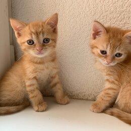 Кошки - Чистокровные шотландские котята , 0
