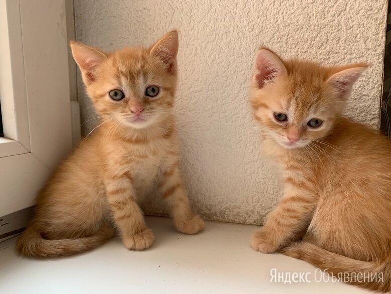 Чистокровные шотландские котята  по цене 1000₽ - Кошки, фото 0