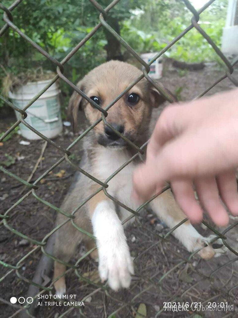 Отдам щенков в добрые руки по цене даром - Собаки, фото 0