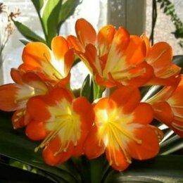 Комнатные растения - Кливия в цветочном горшке 3шт , 0