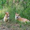 Щенок корги по цене 85000₽ - Собаки, фото 2