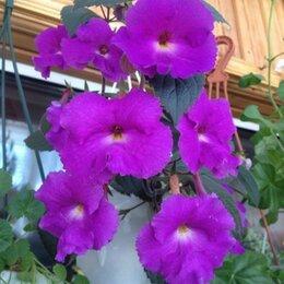 Комнатные растения - Ахименесы , 0