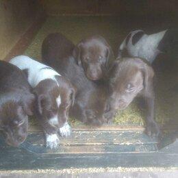 Собаки - продаю щенков породы курцхаар, 0