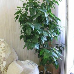 Комнатные растения - Цветок Гибискус китайский или Розан, 0