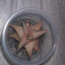 Комнатные растения - Хавортия koelmaniorum, 0
