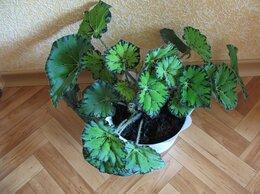 Комнатные растения - Бегония. Красивый, молодой , здоровый ,…, 0