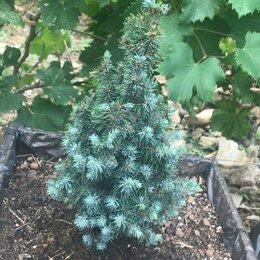 Рассада, саженцы, кустарники, деревья - Ель канадская голубая Сандерс Блю, 0