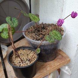 Комнатные растения - Альпийская фиалка (бабушкин цикламен), 0