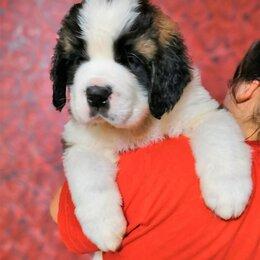 Собаки - щенки сенбернара, 0