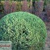 Ива на штамбе по цене 999₽ - Рассада, саженцы, кустарники, деревья, фото 0