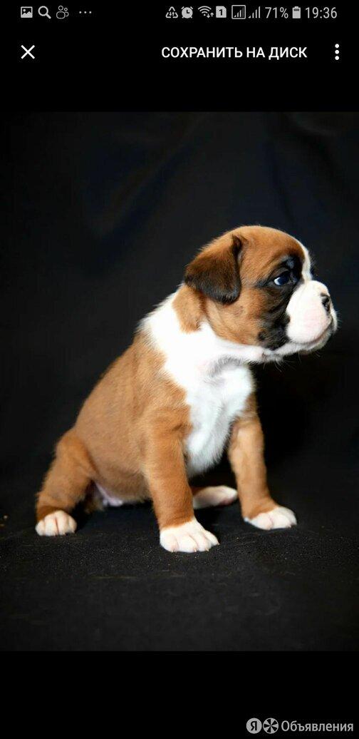 Перспективные щенки немецкого боксёра по цене 45000₽ - Собаки, фото 0